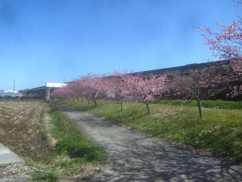 小坂川の桜.19.02.20.jpg