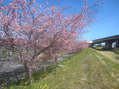 小坂川の桜2.19.02.20.jpg