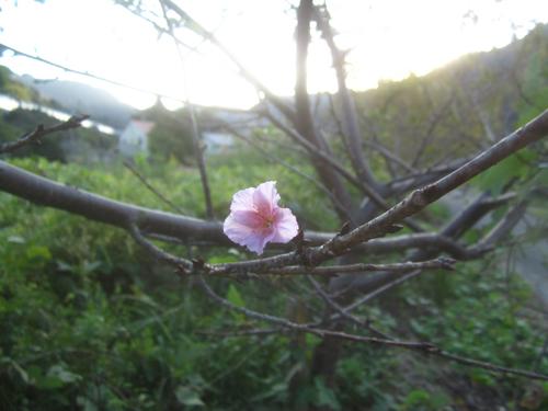 季節外れの桜.13.10.13.