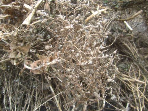 ロメインレタスの採種.13.10.20.