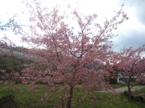 河津桜.14.03.03.