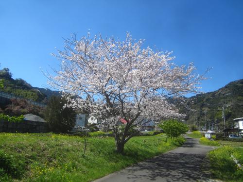 小坂川のソメイヨシノ.14.03.31.