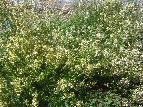 ルッコラの花.14.03.31.