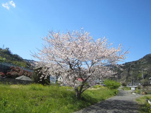 小坂川の桜(12.04.06)