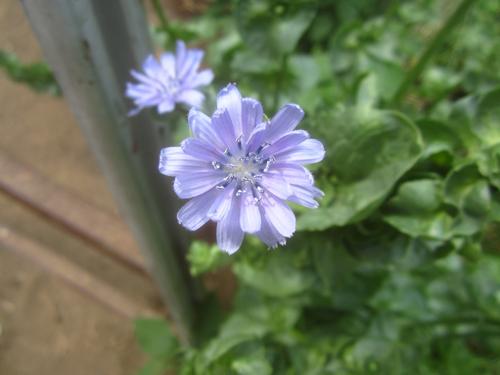 島チシャの花.14.05.19.