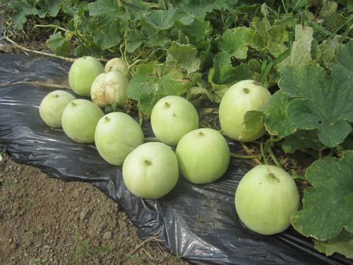 ニューメロンの収穫.12.07.18.