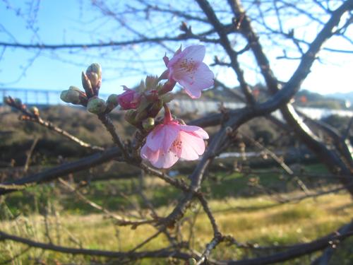 小坂川の桜.15.02.06.