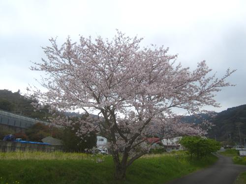 小坂川のソメイヨシノ.15.04.02.
