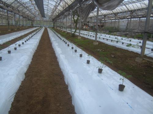 ミニトマトの定植.15.04.24.
