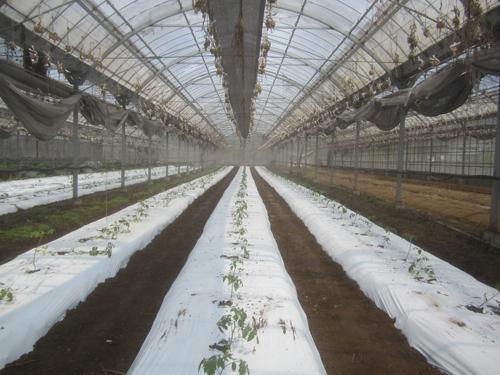 定植されたミニトマト.15.04.26.