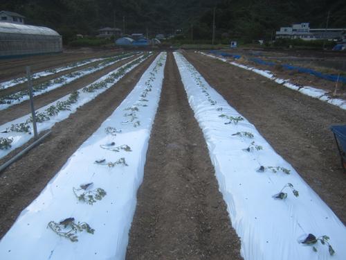 トマトの定植.15.06.02.
