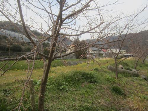 小坂川の桜.13.02.12.