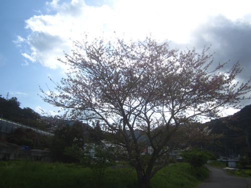 小坂川のソメイヨシノ.13.04.04.
