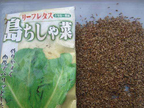 リーフレタス島チシャの種子.13.04.05.