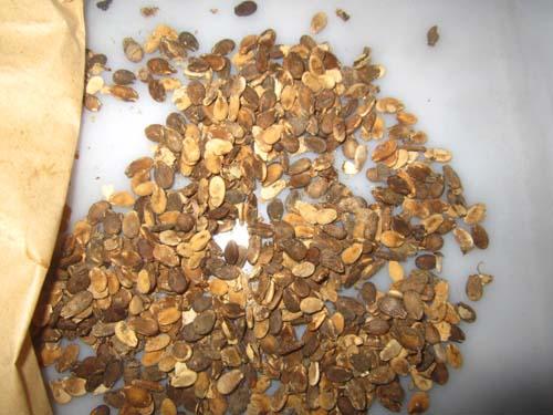 スイカ在来品種「三笠」種子.13.04.06.