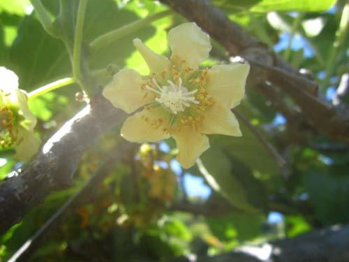 レインボーレッドキウイの花.13.04.28.