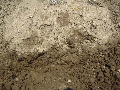 マルチ下の土に色.13.05.25.