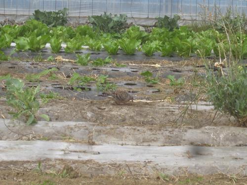 採種畑にハトが.13.06.05.
