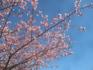 小坂川の桜3.19.02.20.jpg