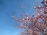 小坂川の桜4.19.02.20.jpg